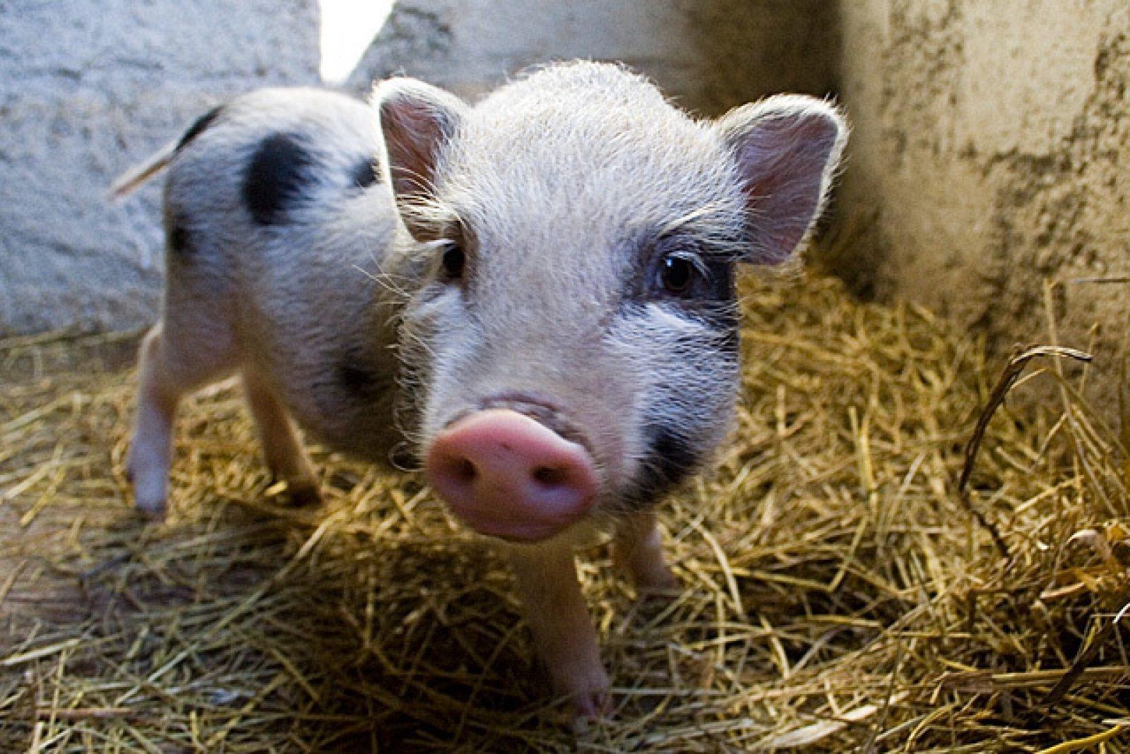 Оптимізація кормів для свиней та курей за вмістом білку, вологи, олії та вуглеводів (GrainSense)